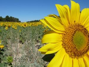 La sucesion de Fibonachi mirando al sol